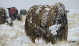 Yak Herd in Snowstorm Royalty Free Stock Images