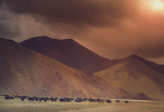 Yak herd in tibetan valley Stock Photo