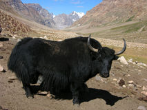 Yak high in mountains. Yak enjoying himalayan mountain beauty Royalty Free Stock Photo