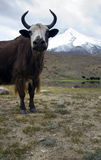 Yak in Himalaya Stock Photo