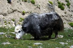 Yak from Himalaya Stock Images