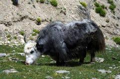 Yak from Himalaya Stock Images
