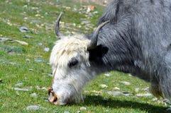 Yak from Himalaya Stock Photo