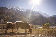 Yak in Himalaya Immagini Stock Libere da Diritti