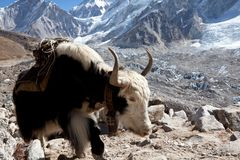 Yak Royalty Free Stock Photography