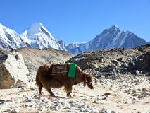 Yak Stock Photography