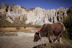 Yak in Himalaya on the way from Manang to Thorung Phedi Royalty Free Stock Image