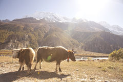 Yak in Himalaya on the way from Manang to Thorung Phedi Royalty Free Stock Photo