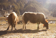 Yak in Himalaya Royalty Free Stock Photography