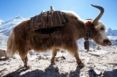 Yak in Himalayan Stock Photo
