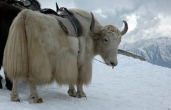 Yak in Himalayas. With high snow peaks around. Indian Tibet Stock Photo