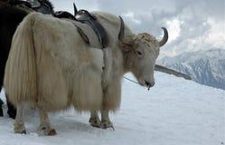 Yak in Himalayas stock photo