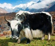 Yak i den Langtang dalen Arkivfoton
