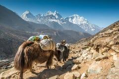 Yak i Everest Nepal Arkivfoton