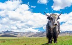 Yak i grässlätten av Kina Royaltyfri Bild