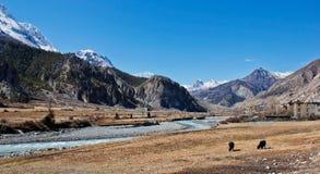 Yak im Tal in Himalaja lizenzfreie stockbilder