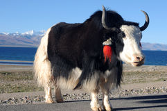 Yak In Tibet Royalty Free Stock Photography