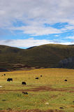 Yak in Kangding Stockfoto