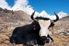 Yak in khumbu valley. With pumo ri, lingtrem and khumbutse - Nepal Stock Image
