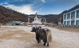 Yak at Khumjing Royalty Free Stock Photo