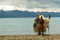 Yak and lake. You can see a yak with a tibetian on the salty Namtso Lake in Tibet Stock Photos