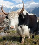 Yak in Langtang Royalty Free Stock Photo