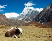 Yak in Langtang valley with Langshisha Ri Royalty Free Stock Image