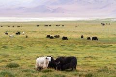 Yak leben auf der Wiese gegen den Himalajaberg in Herden Lizenzfreie Stockbilder
