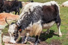 Horned Yak licking salt stone stock image