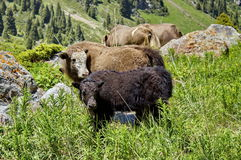 Yak lives mountains. Yak, big, beautiful animal, lives in the mountains. Big Almaty gorge Royalty Free Stock Photography