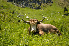 Yak lives in the mountains Royalty Free Stock Photo