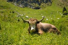 Yak lives in the mountains. Yak, big, beautiful animal, lives in the mountains with his family Royalty Free Stock Photo