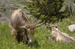 Yak lives in the mountains. Yak, big, beautiful animal, lives in the mountains with his family Stock Photography