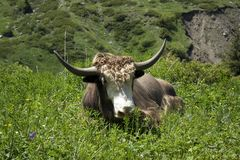 This yak lives in the mountains. I met this yak when walking in the mountains Stock Photos