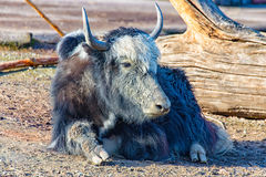 The yak is located in the Sun Royalty Free Stock Photography