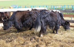 Yak is long haired bovid found throughout the Royalty Free Stock Photography