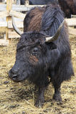 Yak is long haired bovid found throughout the Royalty Free Stock Images