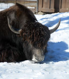 The yak Stock Images