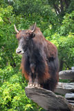 The yak. Is a long-haired bovid found throughout the Himalaya region of southern Central Asia, the Tibetan Plateau and as far north as Mongolia and Russia Stock Photo