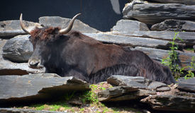 The yak. Is a long-haired bovid found throughout the Himalaya region of southern Central Asia, the Tibetan Plateau and as far north as Mongolia and Russia Stock Photography