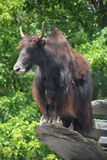 The yak. Is a long-haired bovid found throughout the Himalaya region of southern Central Asia, the Tibetan Plateau and as far north as Mongolia and Russia Stock Images