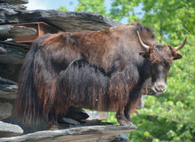 The yak. Is a long-haired bovid found throughout the Himalaya region of southern Central Asia, the Tibetan Plateau and as far north as Mongolia and Russia Royalty Free Stock Images