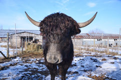 The yak Royalty Free Stock Photo