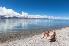 Yak lying on the lakeside of Namtso Royalty Free Stock Image