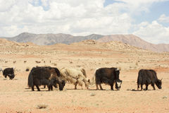 Yak mongoli Immagini Stock