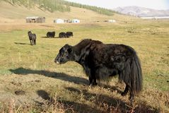 Yak in Mongolia Royalty Free Stock Photo