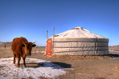 Yak in Mongolia Stock Photo