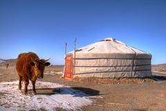 Yak in Mongolia. Juvenile yak near the Mongolian yurt Stock Photo