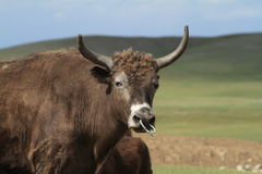 Yak in the mongolian steppe Stock Image
