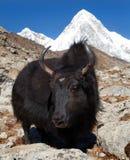 Yak and mount Pumo ri Stock Image